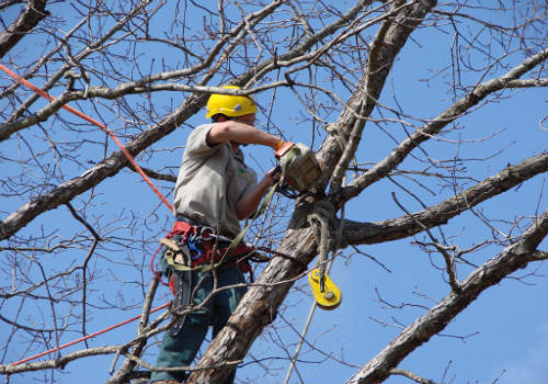 Tree Trimming in Hesperia